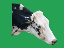 Cow head isolated on green background Royalty Free Stock Photography