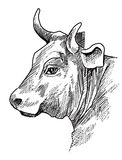 Cow head Stock Photography