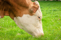 Cow head shot.Cow eating grass closeup Stock Photography
