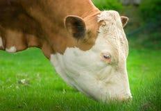 Cow head shot.Cow eats grass closeup Stock Photos