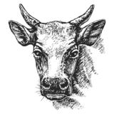 Cow head sketch. Drawn. Imitation of engraving. Scratch board style imitation. Black and white hand drawn image, vector illustration vector illustration