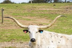 Cow head with some big horns. In a paddock on a farm Royalty Free Stock Photos