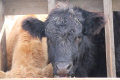 Cow-Head between Struts Royalty Free Stock Photos