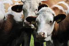 Cow heads royalty free stock photos