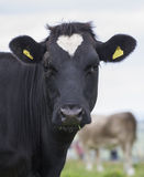 Cow with heart marking in field Royalty Free Stock Image