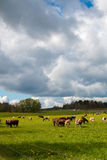 Cow heaven. Cows eating grass in a summer landscape Stock Photos