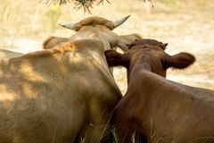 The cow and her calf have a rest stock photos