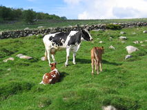 A cow and her calves in a field. In the background there's a stonefence and a forest Royalty Free Stock Images