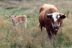 Cows, a cow and her calf stock images