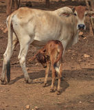 Cow with her newborn Calf Stock Photos