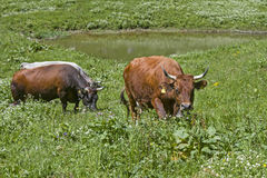 Cow on herbs. Cow on an alpine meadow between blossoming alpine and mountain herbs Royalty Free Stock Image