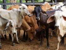 Cow herd Stock Photos