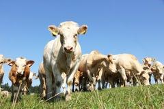 Cow herd Royalty Free Stock Photo