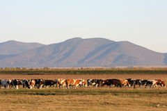 Cow herd Royalty Free Stock Photography