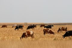 Cow herd Royalty Free Stock Image