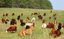 Cow herd. On the green grass Royalty Free Stock Photo