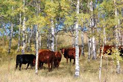 Cow herd. In sheep river valley provincial park, alberta, canada Royalty Free Stock Photography