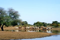 Cow herd by African lake Stock Images