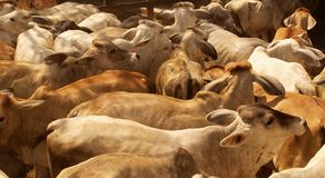 Cow herd background Royalty Free Stock Image