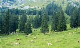Cow herd Royalty Free Stock Photos