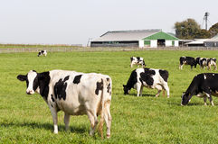 Cow herd in farm pasture. A herd of black and white Holstein dairy cows in a farm pasture.  Farm buildings in background Royalty Free Stock Photos