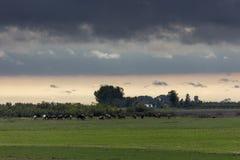 Cow herd in farm pasture Stock Image
