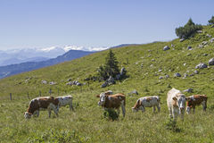 Cow herd in front of alpine panorama Stock Photo