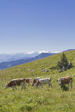 Cow herd in front of alpine panorama Royalty Free Stock Photos