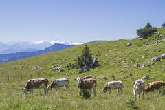 Cow herd in front of alpine panorama Stock Photography