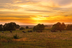 Cow herd grazes in meadow at sunset Stock Image
