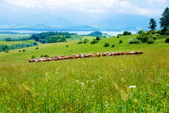 Cow herd grazing on a beautiful green meadow, with mountains in background. Royalty Free Stock Image
