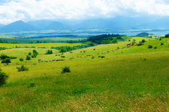 Cow herd grazing on a beautiful green meadow, with mountains in background. Royalty Free Stock Images