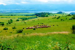 Cow herd grazing on a beautiful green meadow, with mountains in background. Stock Photo