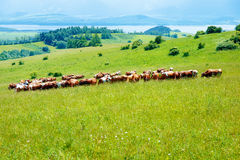 Cow herd grazing on a beautiful green meadow, with mountains in background. Stock Image