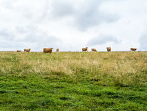 Cow herd grazing on the horizon, simple pasture. Several orange cows on the horizont looking towards the camera, green meadow with dry grass and cloudy sky, two Stock Images