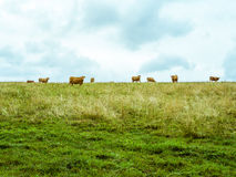 Cow herd grazing on the horizon, vibrant simple pasture. Several orange cows on the horizont looking towards the camera, green meadow with dry grass and cloudy Stock Photos