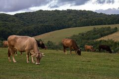 Cows graze in mountain hills. Royalty Free Stock Photography