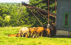 A cow herd. Grazing quietly in their fields Stock Image