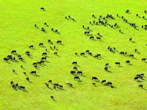 Cow herd on green field. Royalty Free Stock Photography