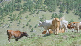 Cow Herd on Green Grass Pasture among Hills stock video