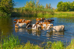 Cow herd having water treatment in summer river Stock Photos