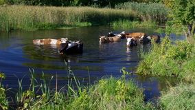Cow herd having water treatment stock video footage