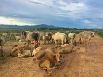 Cow herd in pasture Stock Photos