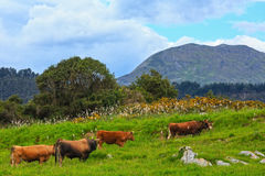 Cow herd on summer hill. Royalty Free Stock Photography