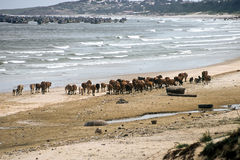 Cow Herd, Vietnam Royalty Free Stock Photo