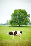 Cow herding on green natural grass field Stock Images