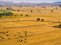 Cow herds in the grassland livestock. Cow herds in the wide grassland livestock Royalty Free Stock Images