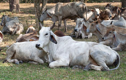Cow herds Stock Photography