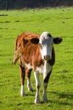 cow hereford 免版税库存图片