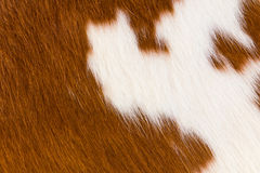 Cow-hide Stock Photos